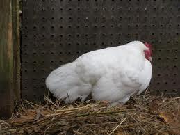 kippen houden- kippenziekten